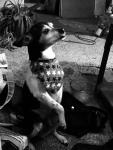 My very verbal 3 legged dog